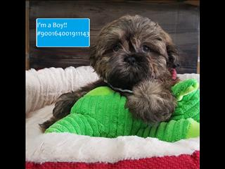 LAST ONE!! Handsome Male Pure ShihTzu Puppy! HYPOALLERGENIC - LOW SHEDDING!!