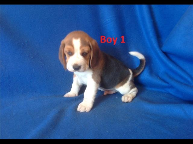 Beagle puppy - We are sold more arriving into store 30 August. Call for a price & to place a deposit.