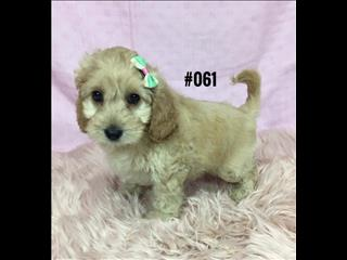 Spoodle Puppies (English Cocker Spaniel X Toy Poodle) - Girl.  At Puppy Palace, Underwood.