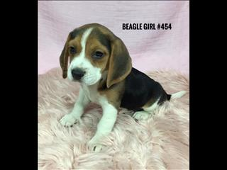 Beagle Puppies - Girls.  We have had our 2nd Vaccination Valued at $100