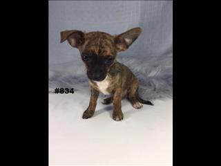 Chihuahua (Toy/Teacup) - Rare Brindle Boy.  07 3855 5511   Puppy Palace Pet Shop