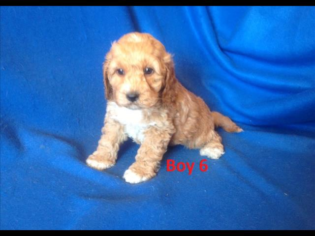 Spoodle  Puppy (English Cocker Spaniel X Toy Poodle) -  We are arriving into store 9 August.
