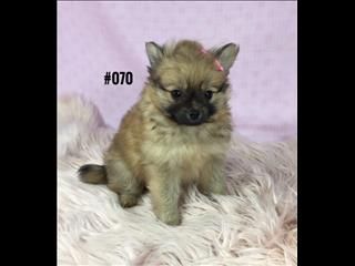 Pomeranian - Sable Girl. I am in store now and ready to go home. Puppy Palace