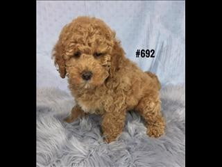 American Spoodle  (American Cocker Spaniel X Toy Poodle) - Boy.   At Puppy Palace, Underwood.