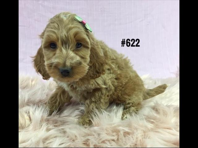 Spoodle Puppy (English Cocker Spaniel X Toy Poodle) - Girl.  Puppy palace. 07 3808 2880