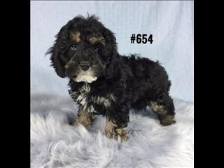 American Toy Spoodle  (American Cocker Spaniel X Toy Poodle) - Black/Tan Phantom Boy.