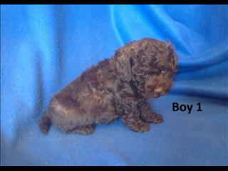 American Toy Spoodle (American Cocker X Toy Poodle) - We are arriving into store 5 Oct. 07 3855 5511