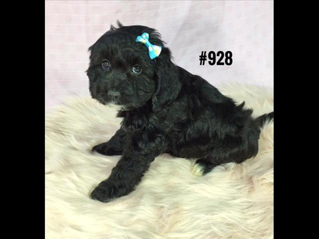 Spoodle Puppy (English Cocker Spaniel X Toy Poodle) - Girl.  Puppy palace Pet Shop.