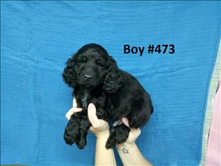 Spoodle (English Cocker Spaniel X  Toy Poodle) - Boy - 2nd Generation.   07 3855 5511.