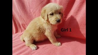 Golden Retriever Pups - We are arriving into store 28 June. Call to get a price and place a deposit.