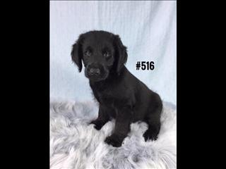 Labradoodle (2nd Generation - Std) - Black Boy. I am in store and ready to go to my new home.