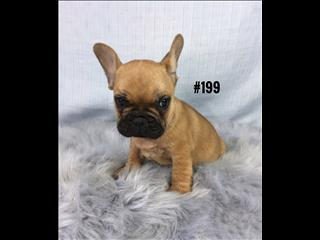 French Bulldog (Frenchie) - Boy. Puppy palace Pet Shop.  07 3855 5511