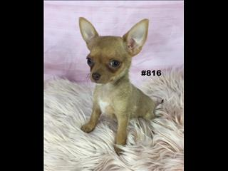Chihuahua (Toy/Teacup) - Red Girl. Puppy Palace Pet Shop