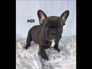 French Bulldog (Frenchie)  Puppy -  Purebred Boy.     07 3855 5511