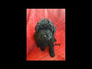 Cavoodle Puppy -  1 Boy. I am arriving into store 31 January.  At Puppy Palace Underwood