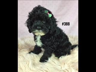 American Toy Spoodle  (American Cocker Spaniel X Toy Poodle) - Black Girl. I am in store now.