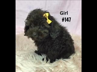 American Spoodle (American Cocker X Toy Poodle) - 3 Boys & 3 Girls .   At Puppy Palace