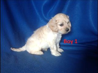 Spoodle (American Cocker Spaniel X Toy Poodle) Puppies -  At Puppy Palace Underwood. We are arriving into store 24 January.