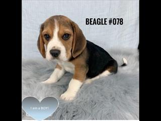 Beagle - Boy. I am in store and ready to go to my furever home.