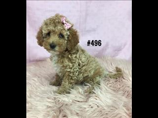 Spoodle Puppies (American Cocker Spaniel X Toy Poodle) - Girl. At Puppy Palace, Underwood.