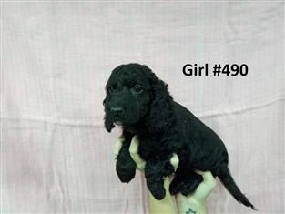 Spoodle (English Cocker Spaniel X  Toy Poodle) - Girl - 2nd Generation.   07 3855 5511.