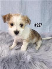 Shih Tzu / Maltese / Mini Foxi X - Boy. I am in store now and ready to go to my new home.
