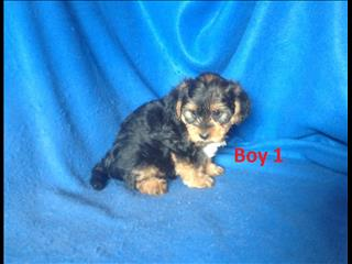 Yorkipoo (Toy Poodle X Yorkshire Terrier) - Arriving into store 24 January.  At Puppy Palace Underwood