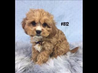 Cavoodle (Cavalier X Toy Poodle) - Boy. I am in store and ready to go home now.