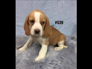 Beaglier (Beagle X Cavalier) Puppies - Boy. At Puppy Palace, Underwood