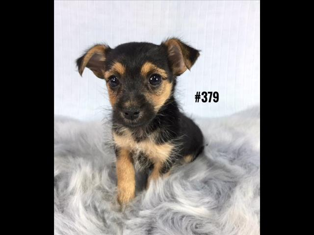 Chihuahua X Silky Terrier - Boy. I am in store and ready to go home.