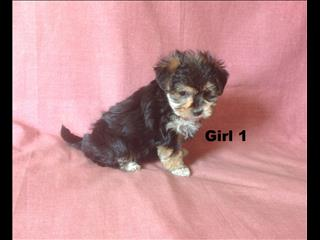 Morkie (Maltese X Yorkshire Terrier) - We are now all sold.  Puppy Palace, Enoggera, Brisbane. Visit our website