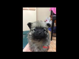 Pomeranian (Toy) Pups - We are arriving into store 23 August. Call for a price & to place a deposit.