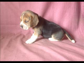 Beagle Puppies - Girl.  At Puppy Palace Underwood. We are arriving into store 24 January.