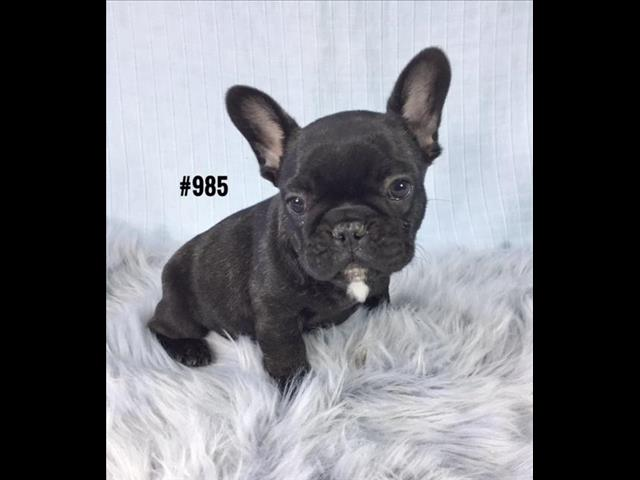 French Bulldog (Frenchie) Puppy -  Boy.     At Puppy palace Pet Shop. 07 3855 5511