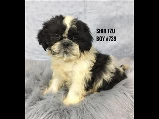 Shih Tzu Puppies - Boy.   In Store now and ready to go home.