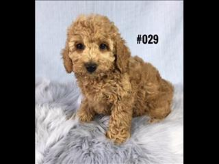 Cavoodle ( Toy Poodle X Cavalier) - Red Boy. I am in store and ready to go to my new home.