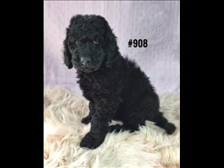 Labradoodle (2nd Generation - Std) - Black Girl. I am in store and ready to go to my new home.