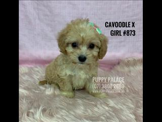Cavoodle X Maltese Pups - 3 Girls & 1 Boy. We are in store and ready to go to our furever home.