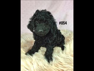 Cavoodle ( Toy Poodle X Cavalier) - Girl. I am in store and ready to go to my new home.