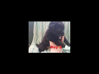 Foxipoo (Mini Foxi X Toy Poodle) - Arriving into store 26 April. Call shop for a price.