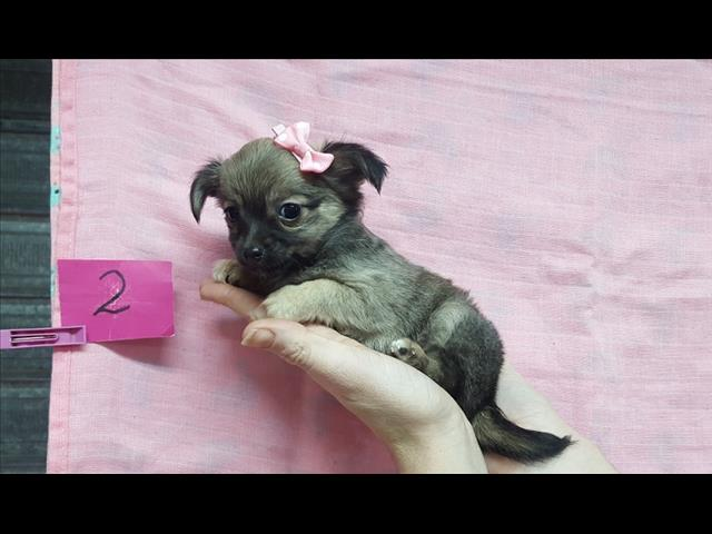 Chihuahua (Toy) - Girl.    www.puppypalace.com.au