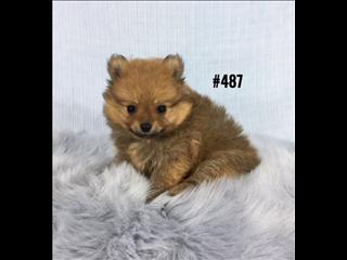 Pomeranian - Boy. I am in store now and ready to go home. Puppy Palace