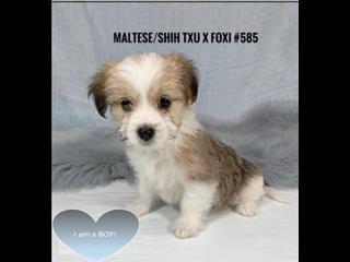 Maltese/Shih Tzu X Mini Foxi - Boy. I am in store & ready for my furever home.