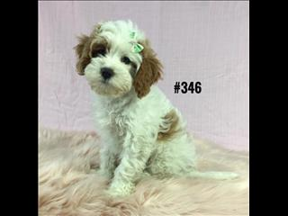 Cavoodle ( Toy Poodle X Cavalier) Puppies - Blenheim Girl. I am in store.  07 3808 2880