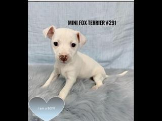 Mini Foxi (Tenterfield Terrier) Puppies -Boy. I am in store & ready for my furever home.