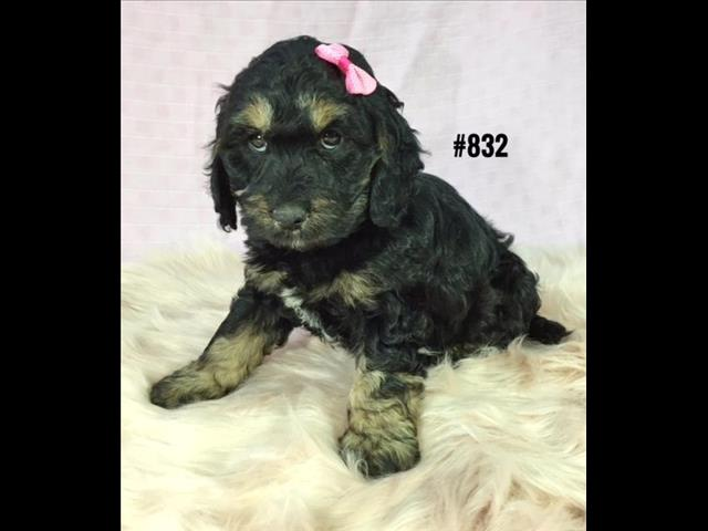 Spoodle Puppy (English Cocker Spaniel X Toy Poodle) - Girl.  Puppy palace Pet Shop.