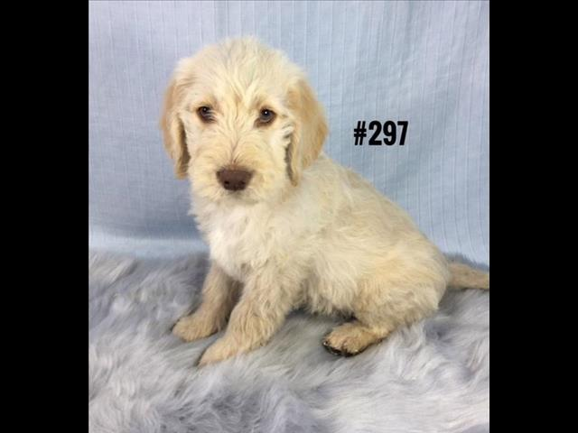 Groodle Pup (Golden Retriever X Poodle) - Boy. I am in store and ready to go home.