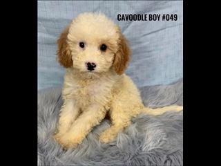 Cavoodle Puppies - Boys. We are in store and ready to go to our new home.