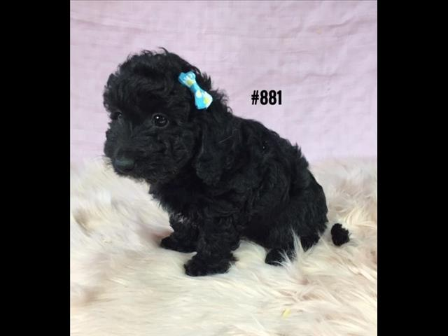 Doxiepoo (Mini Dachshund X Toy Poodle) - Girl. I am in store and ready to go to my new furever home.