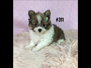 Pomeranian - Tan/White. I am in store now and ready to go home. Puppy Palace